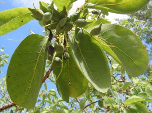 Kakadu Plum foliage and fruit